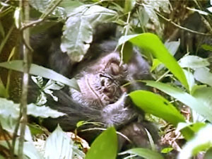sleeping-chimp