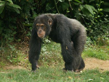 Are Western Chimpanzees a New Species of Pan? | The Advanced