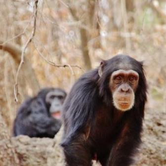 Chimps-from-Fongoli-by-Dr.-Pruetz